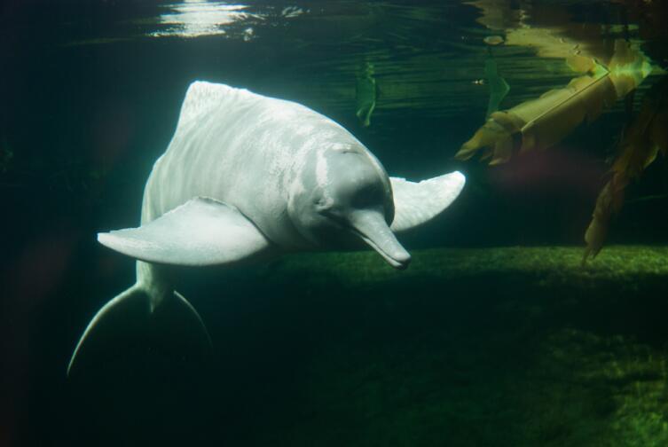 Речные дельфины. Какова их судьба?