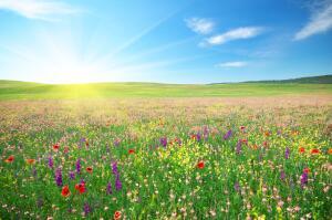 Какие лекарственные растения следует заготавливать в июне?