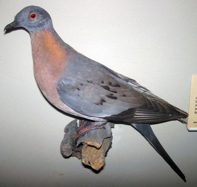 Чучело самца странствующего голубя в Филдовском музее естественной истории