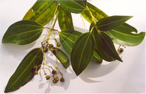 Коричник цейлонский (Cinnamomum verum)