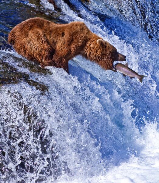Медведь гризли ловит лосося