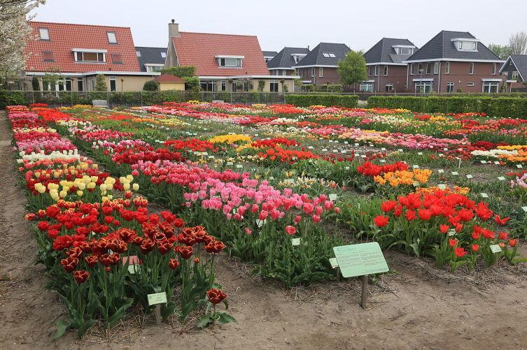 Сад реликтовых тюльпанов Hortus Bulborum - одно из немногих мест, где культивируются сорта селекции XVII-XVIII веков
