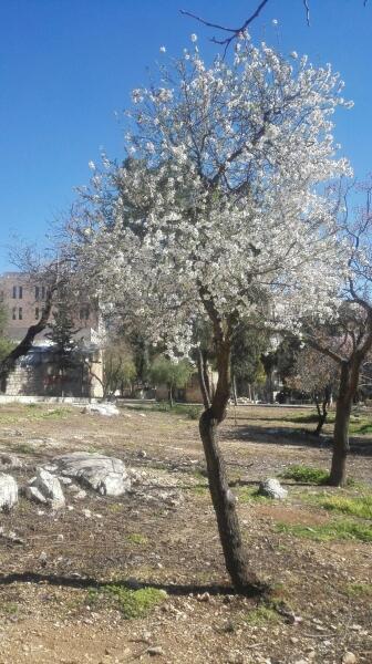 Миндальное дерево покрывается цветами раньше, чем листьями