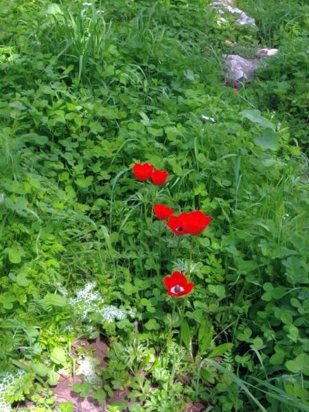Еще один символ израильской весны— бурно расцветающие анемоны