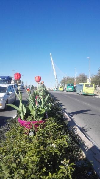 Тюльпаны на въезде в Иерусалим