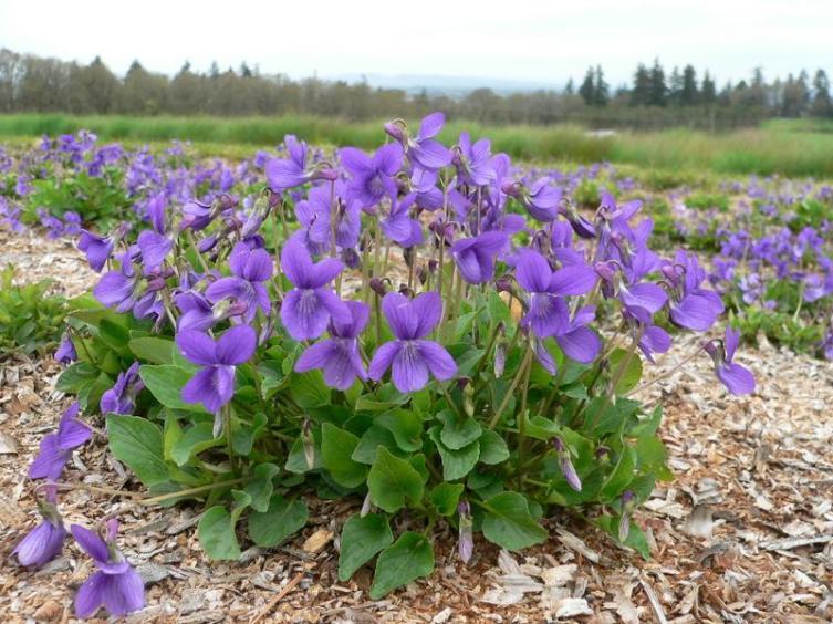 Фиалка крючковато-изогнутая (Viola adunca)
