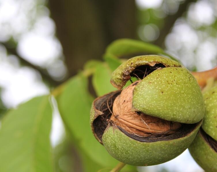 Спелый орех