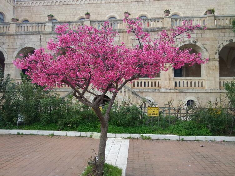 Цветущее миндальное дерево — символ наступления весны