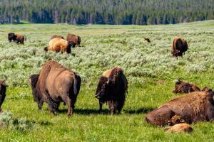 Королева прерий - бизонья трава. Чем она привлекательна для цветовода?