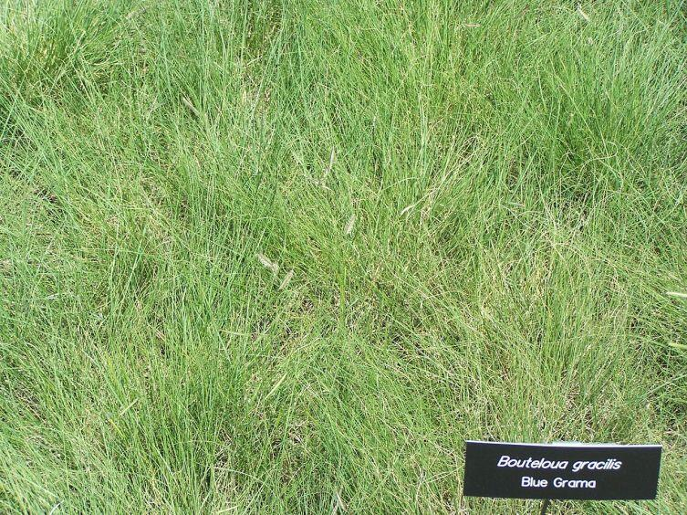 Бизонья трава
