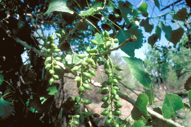 Сережки и листья тополя дельтовидного