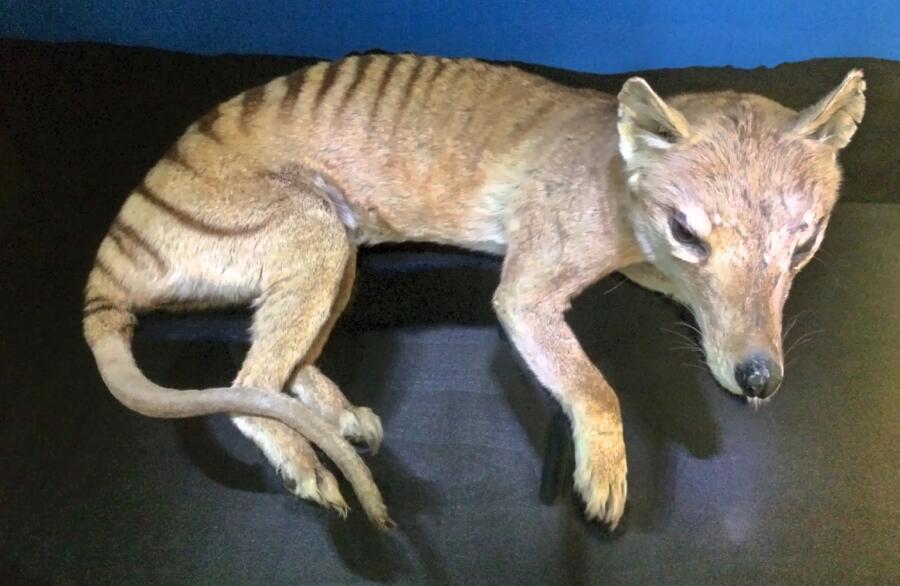Чучело сумчатого волка (Thylacinus cynocephalus) в Венском музее естественной истории