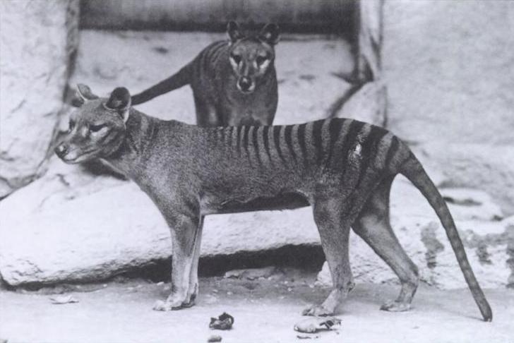 Сумчатые волки в нью-йоркском зоопарке, 1902 год
