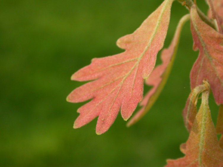 Молодые листья белого дуба весной