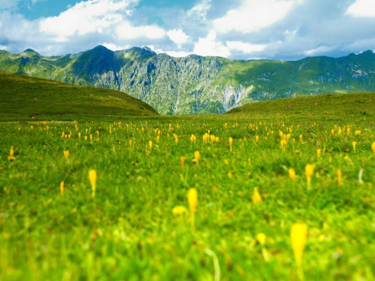 Поля эдельвейсов на Кавказе