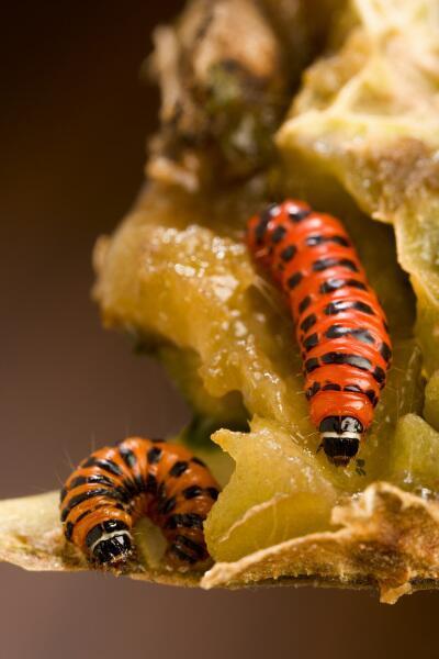 Поедатели опунции, гусеницы кактусовой огневки