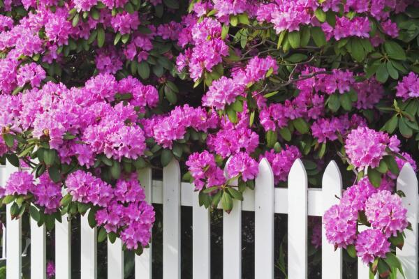 Как вырастить рододендроны в саду?