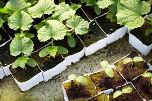 Как вырастить рассаду огурцов?