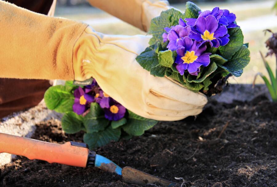 Как выращивать примулу в цветнике?