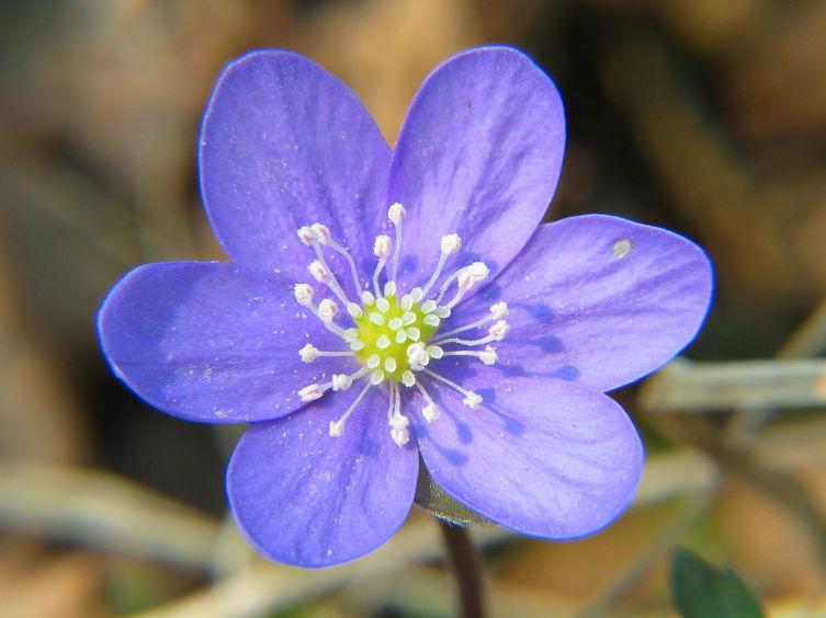 Цветок печеночницы