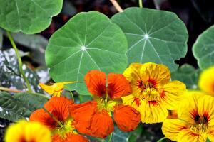 Как украсить свой сад  в желто-красных тонах с помощью одного вида растения?