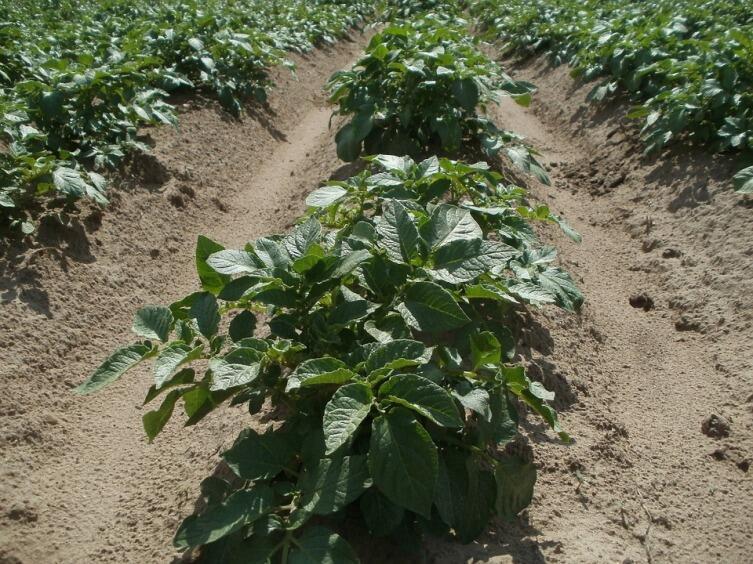 Как избежать «битвы за урожай» на дачном участке? Выращивание картофеля. Технология