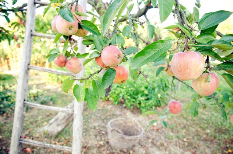 Как обрезать саженцы яблонь?