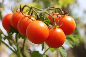 Урожай на балконе. Как выращивать томаты Черри в квартире?