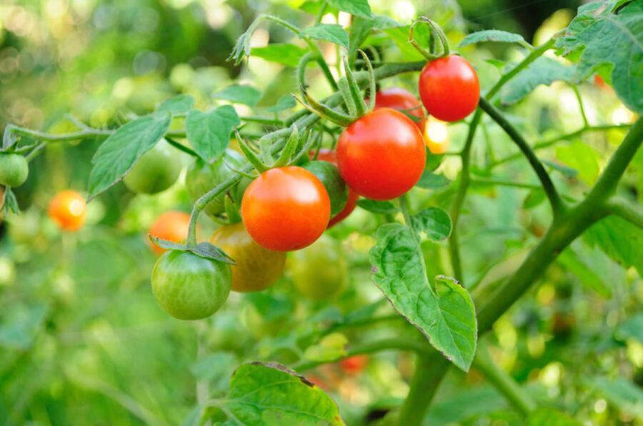 Как выращивать томаты Черри?