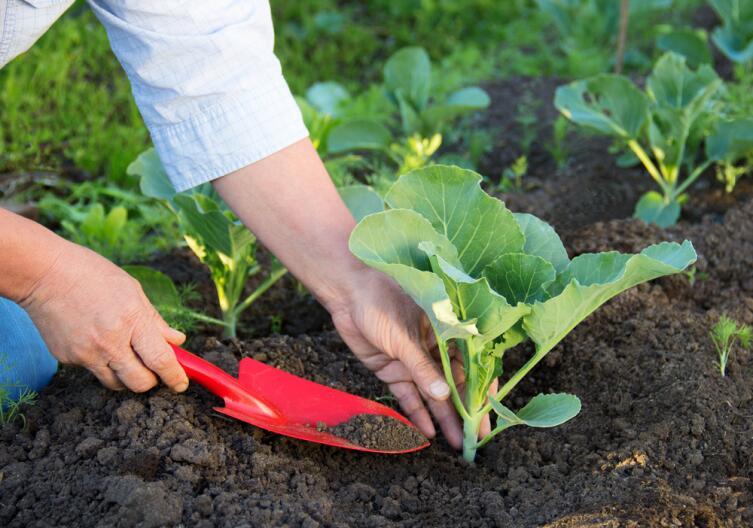 Как выращивать капусту в Сибири?