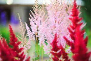 Астильба - шикарное украшение сада (фото: И. Лукьянчик, личный архив)