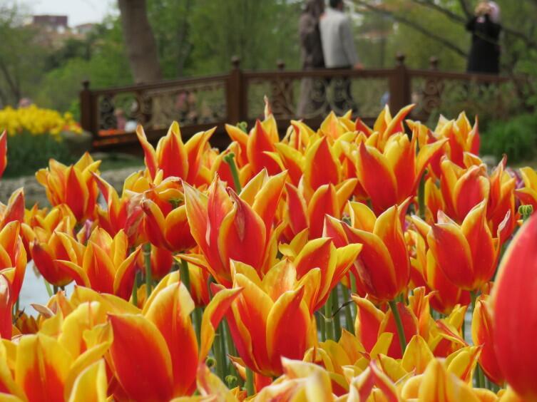 Османские тюльпаны