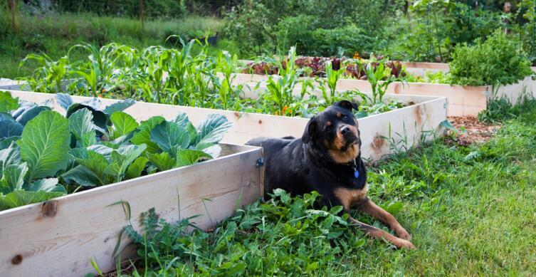 Для защиты капусты от насекомых рядом высаживают пряные растения — укроп, чабрец, шалфей