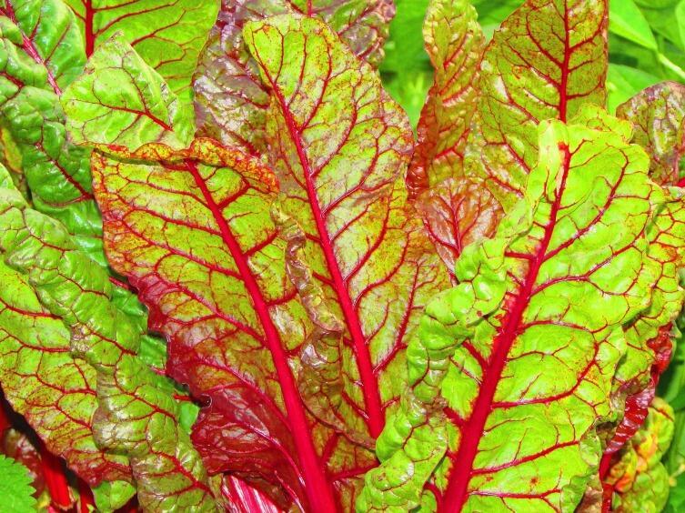 Чем хороша листовая свекла Мангольд и как её выращивать?