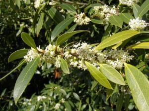 Сладкий аромат цветов настолько сильный, что запах начинаешь ощущать задолго до того, как увидишь сам цветок...