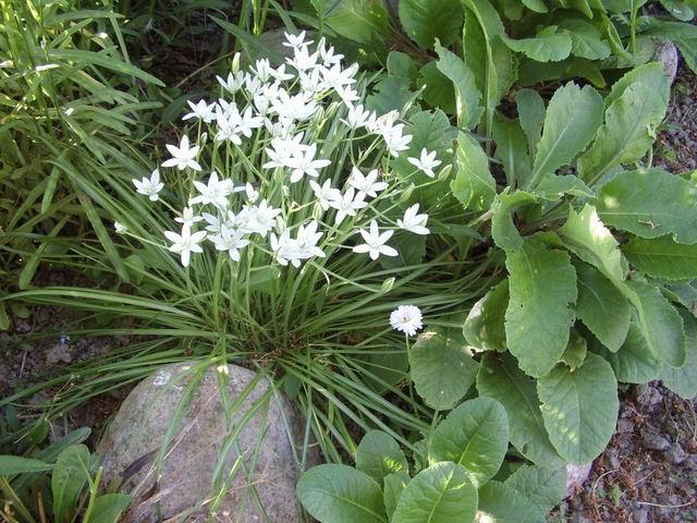 Птицемлечник цветет в начале июня