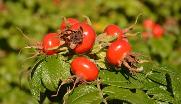 Кусты шиповника хорошо защищают участок и дают полезные плоды
