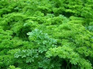 Как вырастить пряные травы? Петрушка, шалфей и тимьян