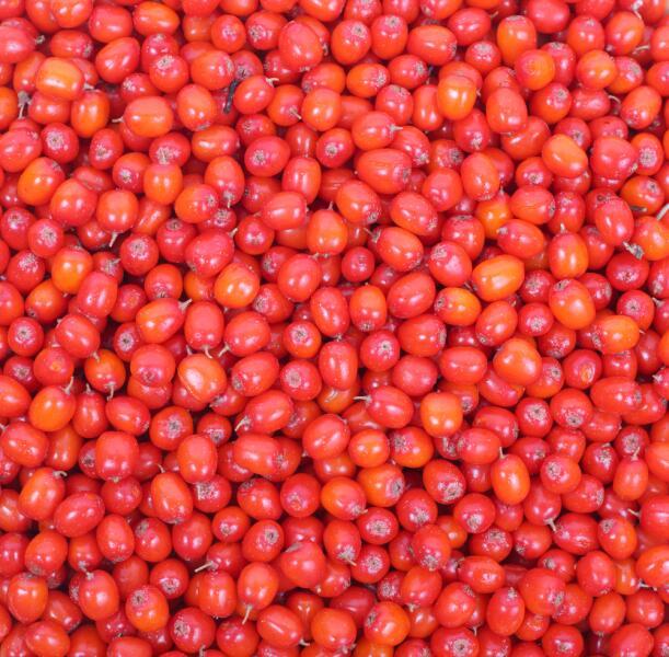 Шефердия: почему ее называют «бизоновой ягодой» и при чем здесь облепиха?