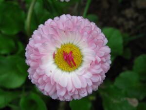Садовая звёздочка - маргаритка. Чем она привлекательна?