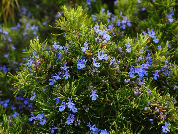 Как вырастить пряные травы? Мята и розмарин, базилик, душица и майоран