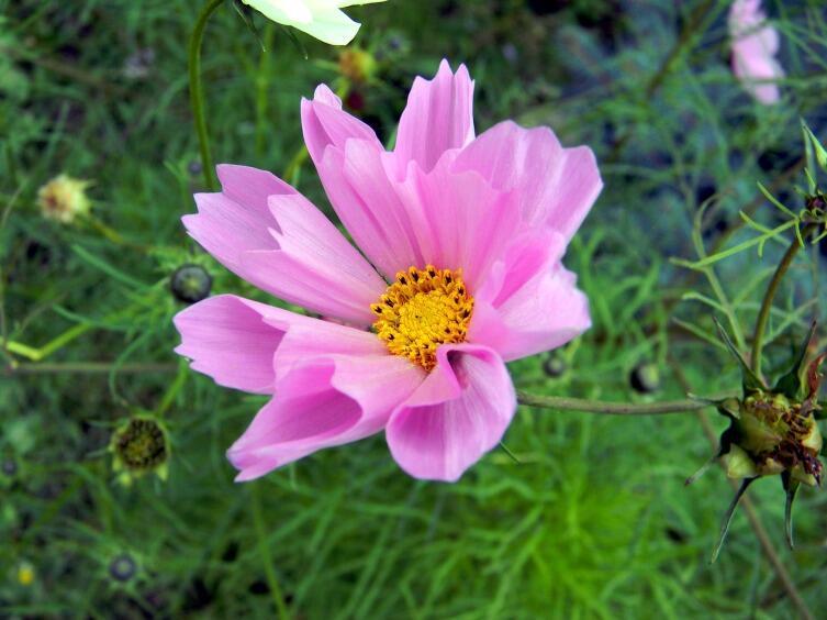 Цветы из детства. Как выращивать космею?