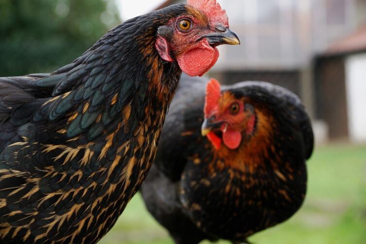 Курицы съедят проволочников