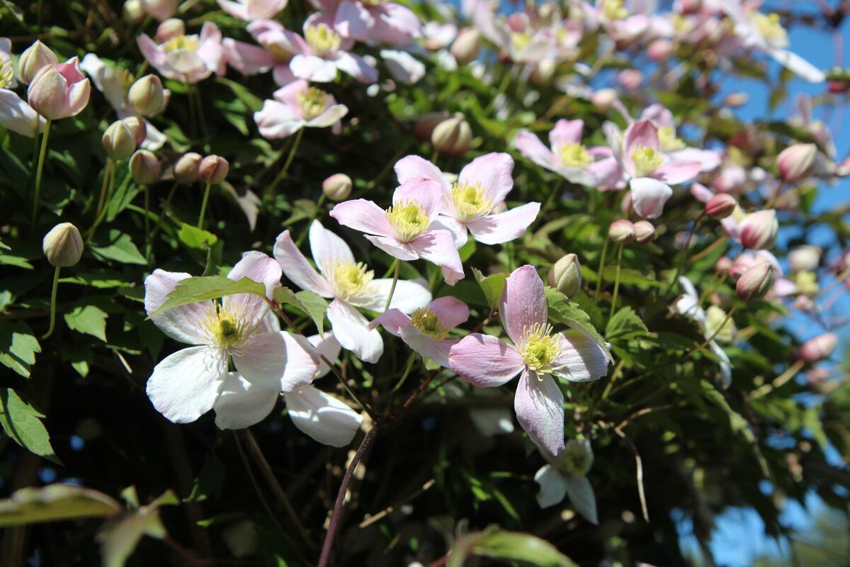 Какие цветы посадить на даче? Клематисы