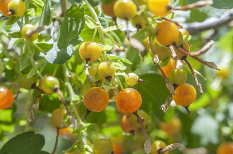 Золотистая смородина - это что за чудо-ягода?