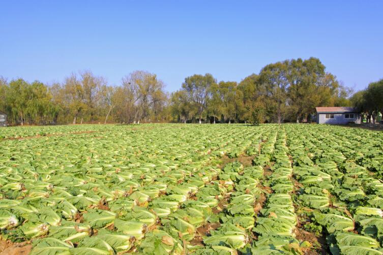 Сбор пекинской капусты в Китае