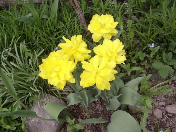 Когда нужно выкапывать тюльпаны?