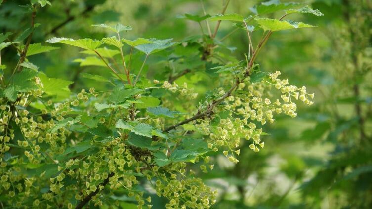 Цветущий куст смородины