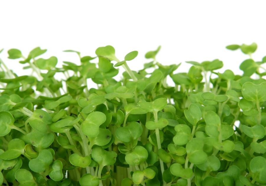 Кресс-салат: какими удивительными свойствами он обладает?