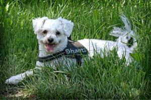 Бишон фризе – это декоративная собачка, которая напоминает белого игрушечного мишку.
